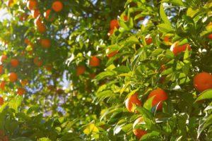 Tangerine Öl